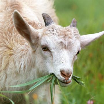 Дегельмінтизація кіз та овець