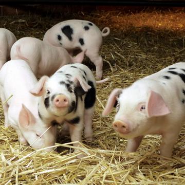 Мікотоксини - небезпека для свинарства