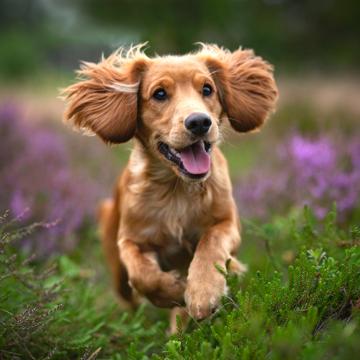 Небезпека піроплазмозу (бабезіозу) для собак