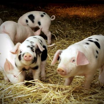 Сальмонельоз свиней