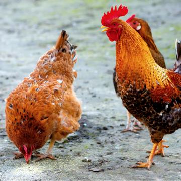 Теплові стреси у тварин та птиці