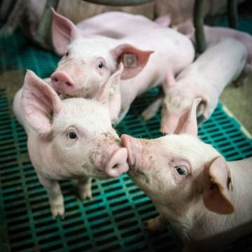 Бешиха свиней